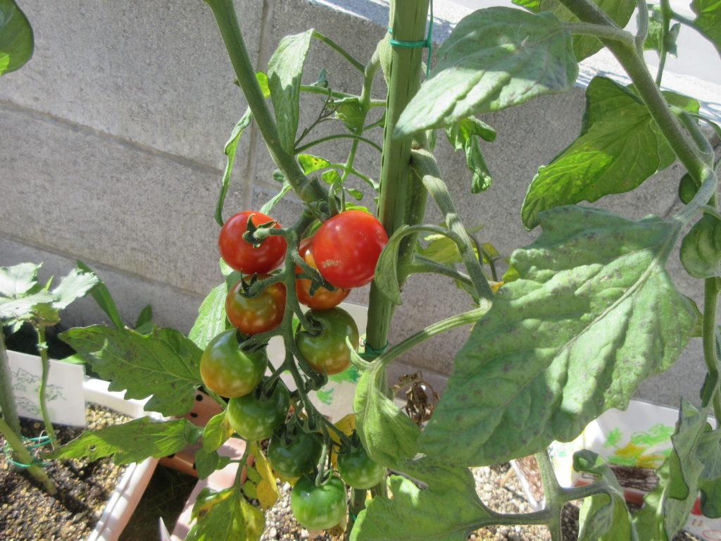 夏野菜 収穫したよ!